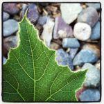 gourd leaf